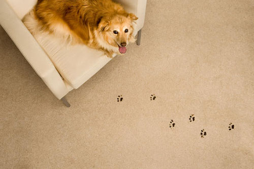 Pet odor and stains on carpet and upholstery in Gaithersburg, MD